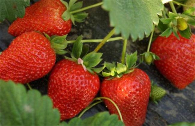 草莓 环境条件 要求