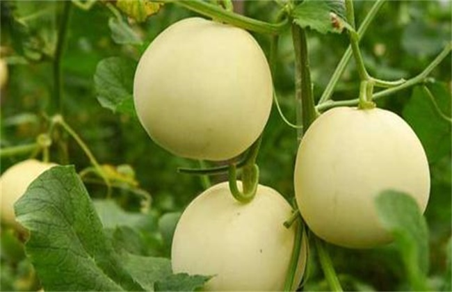 甜瓜的种植技术