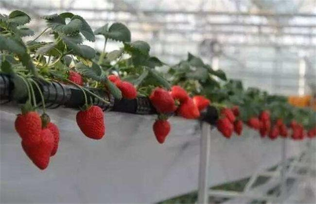 草莓繁殖方法