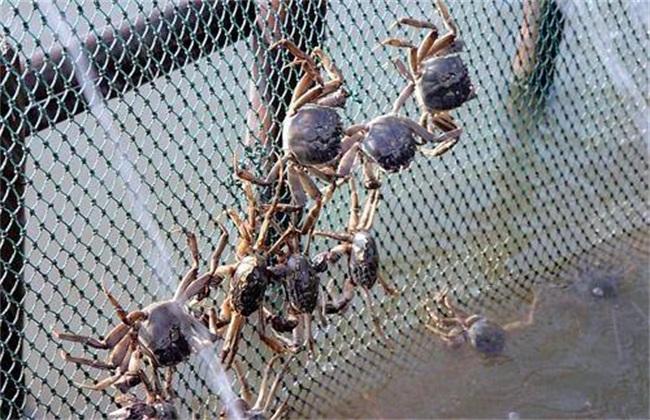 螃蟹 养殖 技术要点