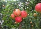 石榴树怎么繁殖