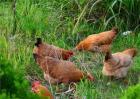 新手养鸡怎么打开销路