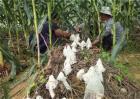 玉米套种高产作物