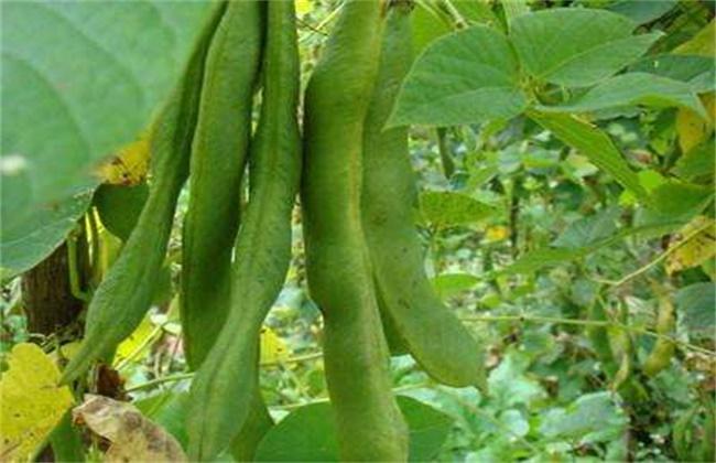 芸豆畸形的原因及解决方法