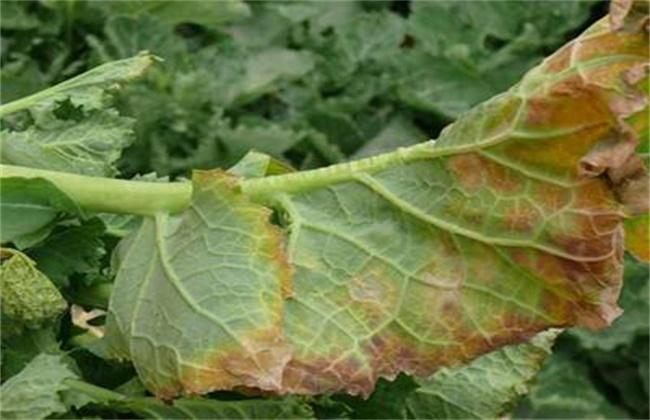 油菜的病虫害防治方法