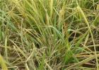 水稻早衰的原因及防治方法