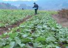 油菜的高产施肥技术