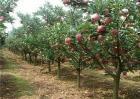 苹果树管理技术