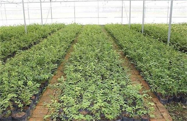 蓝莓的育苗方法