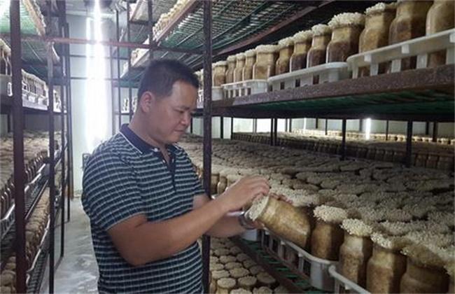 金针菇的栽培注意事项