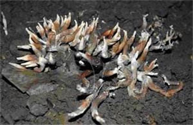 鸡腿菇的常见病害防治方法
