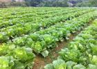 白菜价格多少钱一斤
