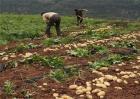 马铃薯冬季种植注意事项