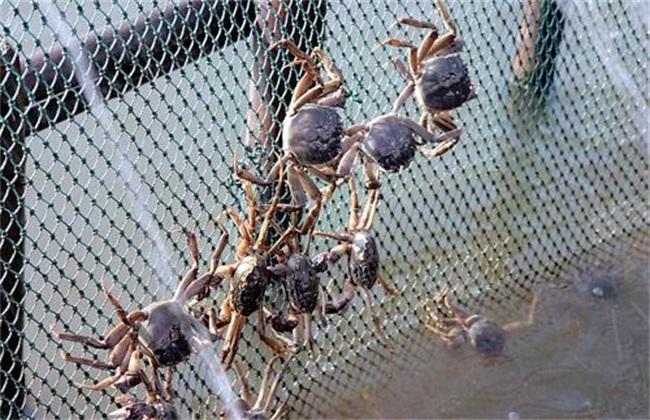 养殖螃蟹常见问题