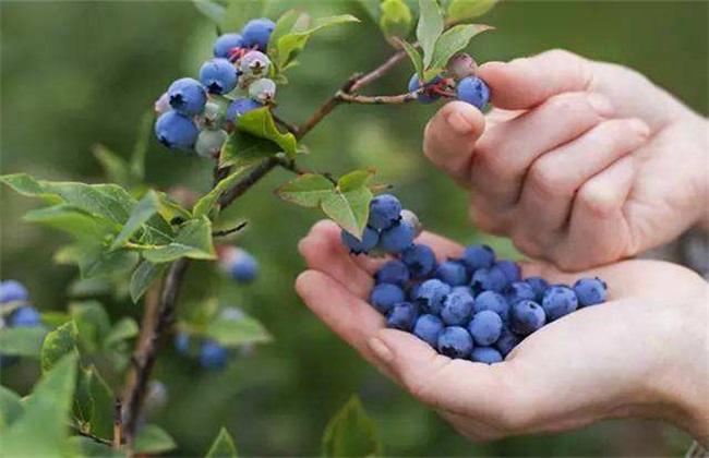 蓝莓 扦插繁殖 技术