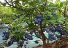 蓝莓种植的注意事项