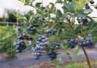 蓝莓扦插繁殖技术