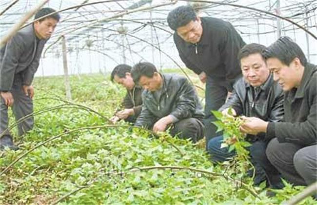 百部的种植技术