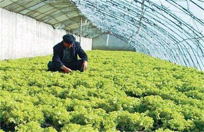 生菜的种植管理技术