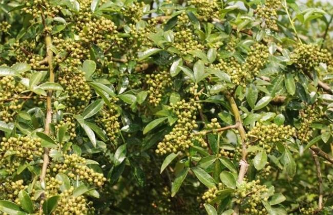 花椒树 繁殖 方法
