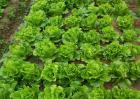 生菜抽薹的原因及防治方法