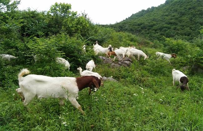 波尔山羊引种初期的管理方法