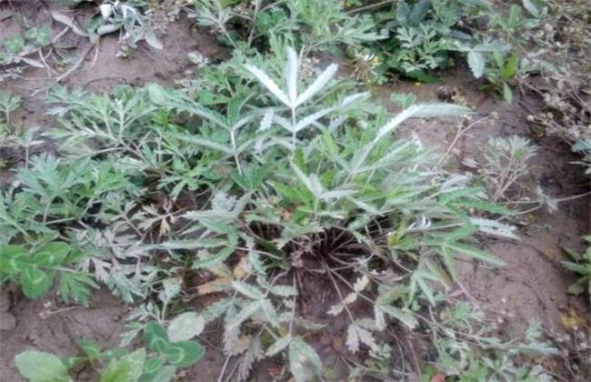 翻白草的种植技术