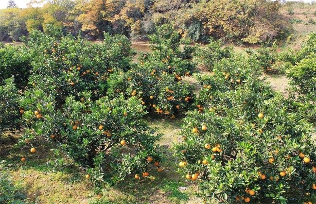 如何解决 柑橘 大小年