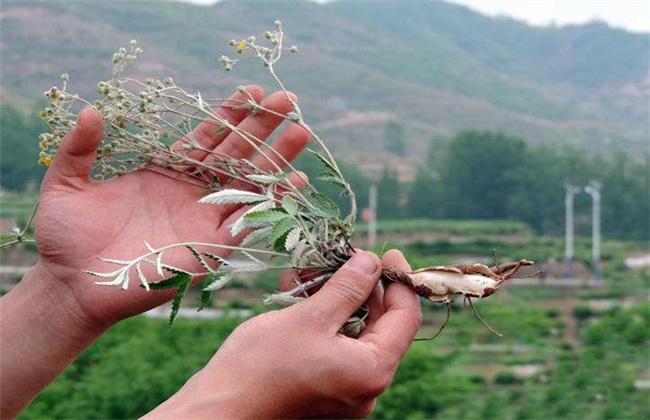 翻白草的多少钱一斤
