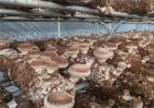 香菇出菇后如何管理