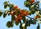 柿子树该怎么育苗