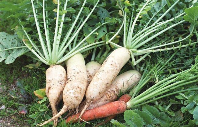 萝卜生长异常情况防治