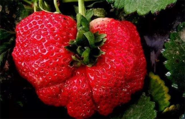 草莓畸形果的原因及预防措施