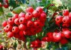山楂和红果的区别