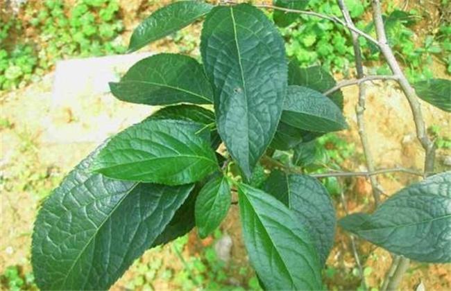 杜仲的种植条件