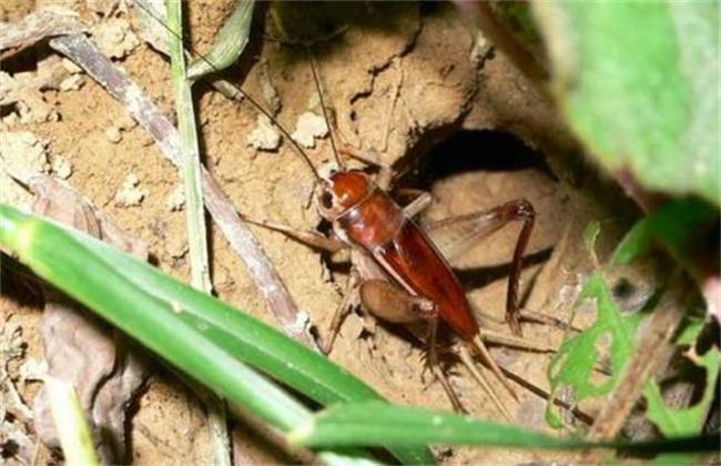 蟋蟀怎么养殖