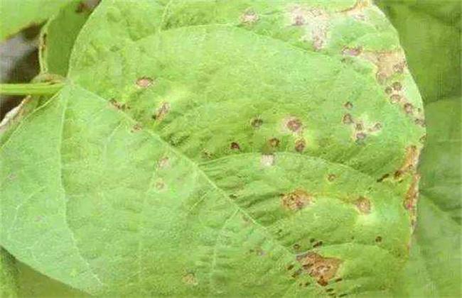 芸豆的病虫害防治方法