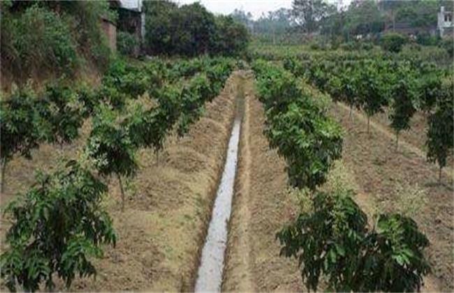 黄皮的种植管理技术