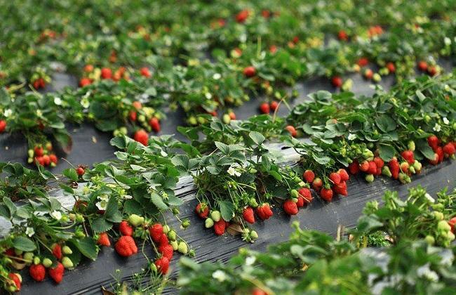草莓育苗管理技术