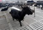 黑山羊养殖对羊舍有哪些要求