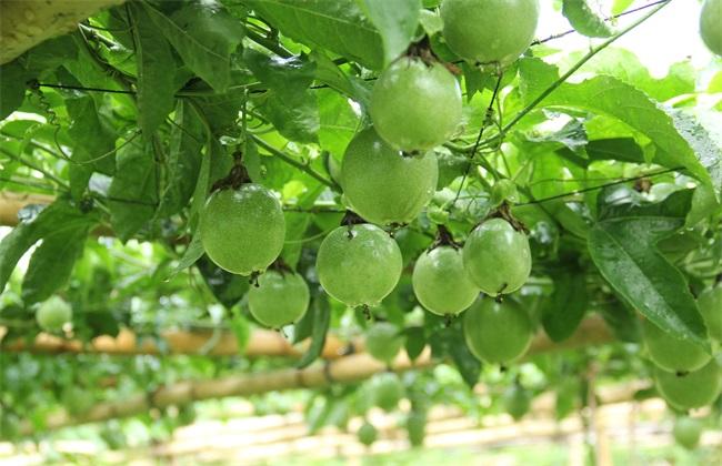 百香果的繁殖方法