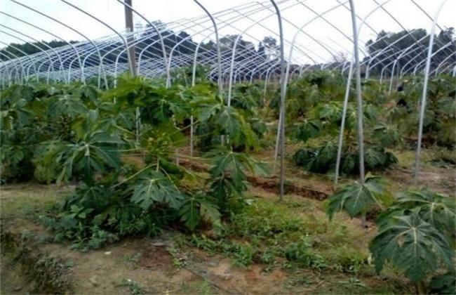 木瓜的防寒越冬措施