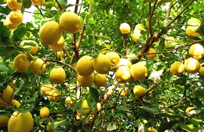 柠檬 花期 管理技术