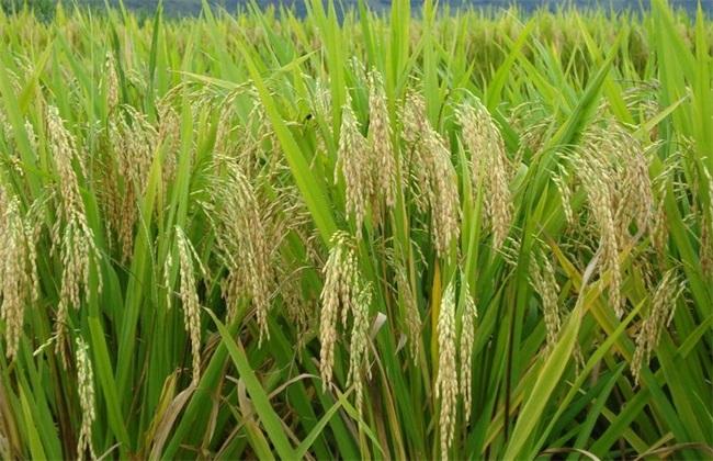 水稻亩产量多少