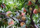 桃树盛果期管理要点
