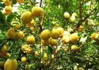 柠檬的花期管理技术