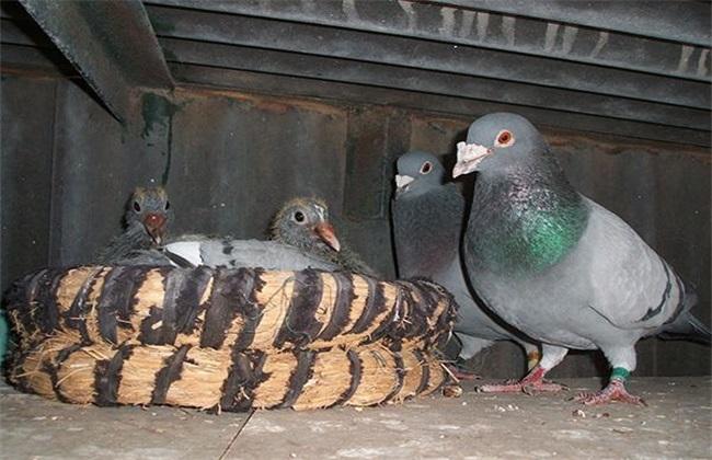 鸽子 繁殖 注意事项