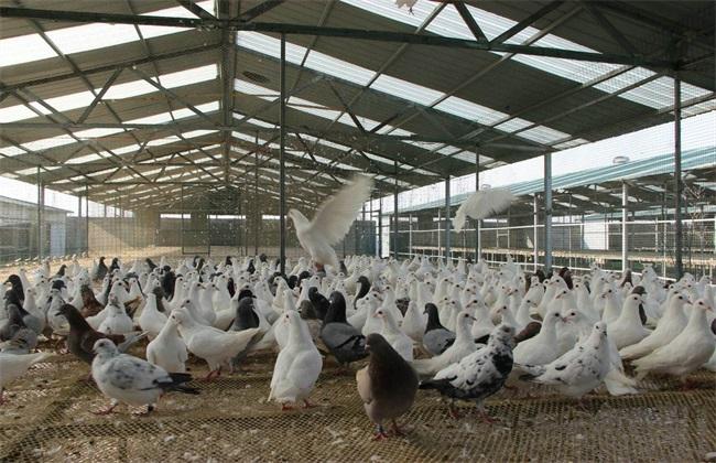 肉鸽 高效养殖 管理技巧