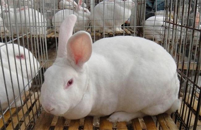 兔子养殖中的几大误区