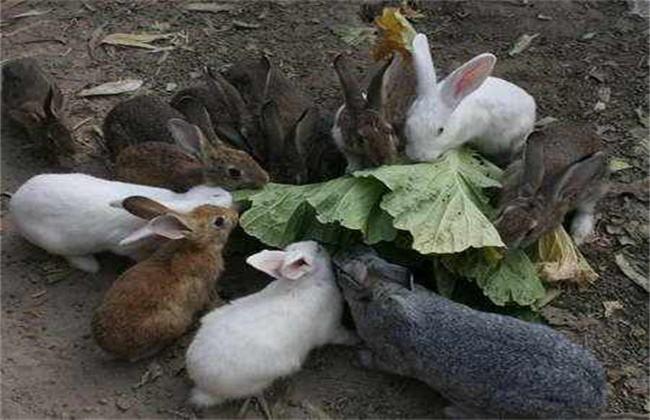 兔子 养殖 误区